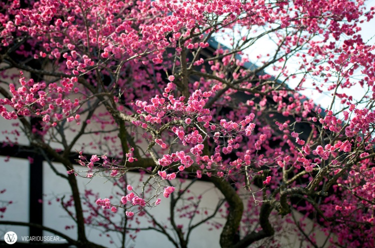 First sighting of the vibrant plum blossoms was near this gift shop.