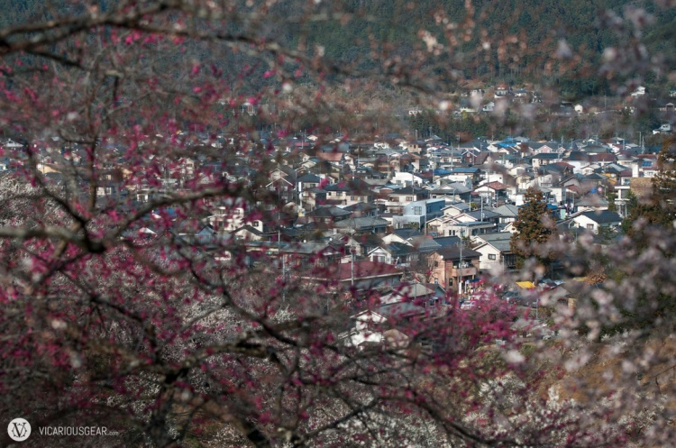 Yoshino Baigo (Plum Village) is just surrounded by these beautiful trees.