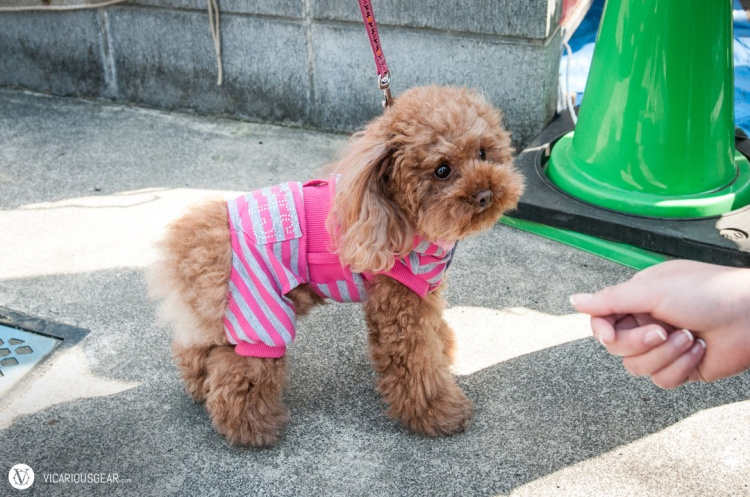 Probably the fluffiest brown poodle we have seen in Japan so far. Mimi didn't have any snacks to lure her home with us.
