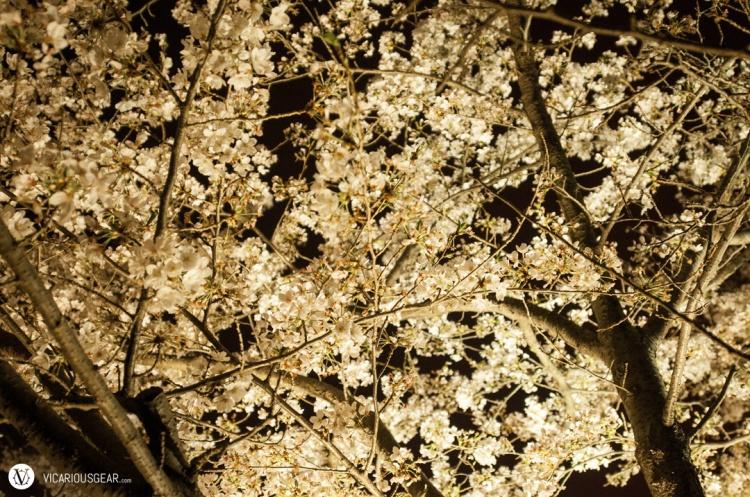 There was a variety of lighting illuminating the sakura.
