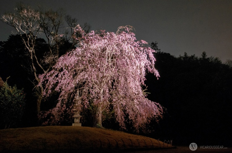 This weeping cherry tree and the stone pagoda created quite a nice atmosphere. I wish we could lay beneath it and look into the sky.